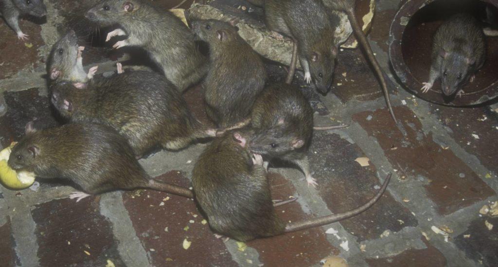 уничтожение крыс в Кировске